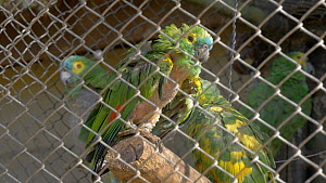 Unreleaseable Blue fronted amazon (Amazona aestiva) in cage, showing signs of feather picking, confiscated from illegal wildlife trade, Brazil. - David Perpinan