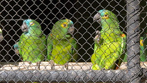 Unreleaseable Blue fronted amazon (Amazona aestiva) in cage, confiscated from illegal wildlife trade, Brazil. - David Perpinan