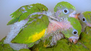 Close-up of Yellow chevroned parakeet (Brotogeris chiriri) chicks and a Peach fronted parakeet (Aratinga aurea) chick in a cage, confiscated from illegal wildlife trade, Brazil.  -  David Perpinan