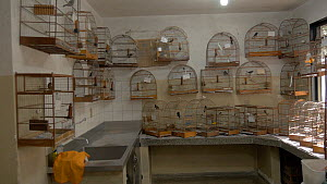 Various Songbirds (Passerine) in cages, confiscated from illegal wildlife trade, Brazil.  -  David Perpinan
