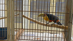 Red breasted toucan (Ramphastos dicolorus) in cage, confiscated from illegal wildlife trade, Brazil. - David Perpinan