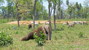 Giant anteater (Myrmecophaga tridactyla) feeding, with cattle in the background, Pantanal, Mato Grosso do Sul, Brazil. - David Perpinan