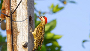 Pair of Green barred woodpeckers (Chrysoptilus melanochloros) at nest, one flies out of nest hole and the other enters, Pantanal, Mato Grosso do Sul, Brazil. - David Perpinan
