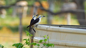 Two White woodpeckers (Melanerpes candidus) drinking, Pantanal, Mato Grosso do Sul, Brazil. - David Perpinan