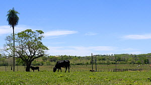 Timelapse of cattle moving in Pantanal landscape, Mato Grosso do Sul, Brazil.  -  David Perpinan