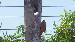 Great rufous woodcreeper (Xiphocolaptes major) entering its nest in a dead palm tree, Pantanal, Mato Grosso do Sul, Brazil.  -  David Perpinan