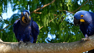 Two Hyacinth macaws (Anodorynchus hyacinthus) calling and flapping wings in a tree, Pantanal, Mato Grosso do Sul, Brazil.  -  David Perpinan