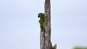 Blue-fronted amazon parrot (Amazona aestiva) taking off from a tree, Pantanal, Mato Grosso do Sul, Brazil.  -  David Perpinan