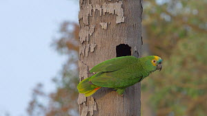 Blue-fronted amazon parrot (Amazona aestiva) vocalising and flying from nest hole, Pantanal, Mato Grosso do Sul, Brazil.  -  David Perpinan