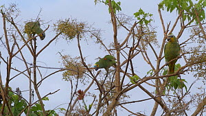 Mixed flock of Blue-fronted amazon parrots (Amazona aestiva) and Orange-winged amazon parrots (Amazona amazon parrotica) feeding from a tree, Pantanal, Mato Grosso do Sul, Brazil.  -  David Perpinan