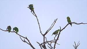 Blue-fronted amazon parrots (Amazona aestiva) gathering at roost site, Pantanal, Mato Grosso do Sul, Brazil. - David Perpinan