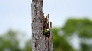 Blue-fronted amazon parrot (Amazona aestiva) entering nest in tree, Pantanal, Mato Grosso do Sul, Brazil. - David Perpinan