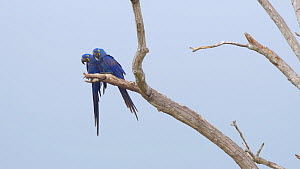 Pair of Hyacinth macaws (Anodorynchus hyacinthus) flying from a tree, Pantanal, Mato Grosso do Sul, Brazil.  -  David Perpinan
