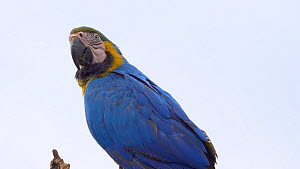 Close-up of a pair of Blue and gold macaws (Ara ararauna) perched in a tree, Pantanal, Mato Grosso do Sul, Brazil. - David Perpinan