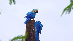 Pair of Blue and gold macaws (Ara ararauna) perched in a tree, Pantanal, Mato Grosso do Sul, Brazil.  -  David Perpinan