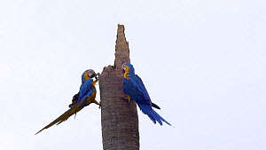 Pair of Blue and gold macaws (Ara ararauna) looking for a nest site in a dead tree, Pantanal, Mato Grosso do Sul, Brazil.  -  David Perpinan