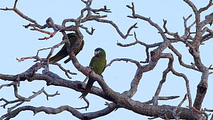 Pair of Red-shouldered macaws (Diopsittaca nobilis) perched in a tree, preening each other, Pantanal, Mato Grosso do Sul, Brazil.  -  David Perpinan