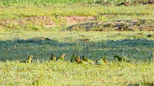 Mixed flock of Red-shouldered macaws (Diopsittaca nobilis) and Peach-fronted parakeets (Aratinga aurea) feeding on the ground, Pantanal, Mato Grosso do Sul, Brazil. - David Perpinan