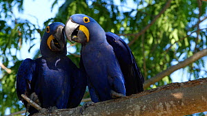 Two Hyacinth macaws (Anodorynchus hyacinthus) in a tree, Pantanal, Mato Grosso do Sul, Brazil. - David Perpinan