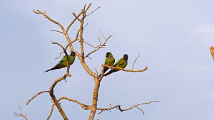 Three Hooded parrots (Nandayus nenday) in a tree, cleaning beaks on the branches, Pantanal, Mato Grosso do Sul, Brazil.  -  David Perpinan