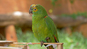Rehabilitated Blue-fronted amazon parrot (Amazona aestiva), seized from the illegal wildlife trade, Pantanal, Mato Grosso do Sul, Brazil.  -  David Perpinan
