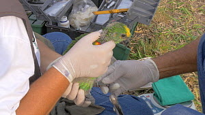 Field worker ringing a Blue-fronted amazon parrot (Amazona aestiva) chick, Pantanal, Mato Grosso do Sul, Brazil. - David Perpinan