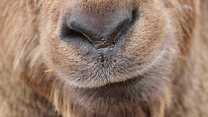 Close-up of an Alpine ibex (Capra ibex) chewing, shot moves to eye, Rhone-Alpes, France, December. - Stephane Granzotto