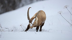 Alpine ibex (Capra ibex) feeding in deep snow, digging to reach food, Rhone-Alpes, France, December.  -  Stephane Granzotto