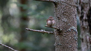 Pygmy owl (Glaucidium passerinum) looking around, takes off from perch in a tree, Rhone-Alpes, France, September. - Stephane Granzotto