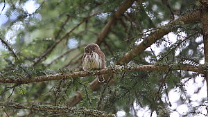 Pygmy owl (Glaucidium passerinum) perched in a tree, looking around, Rhone-Alpes, France, September. - Stephane Granzotto