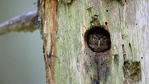 Pygmy owl (Glaucidium passerinum) looking out from nest hole in a tree, Rhone-Alpes, France, September. - Stephane Granzotto