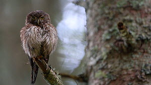 Pygmy owl (Glaucidium passerinum) perched in a tree and looking around, with puffed out feathers, Rhone-Alpes, France, September. - Stephane Granzotto