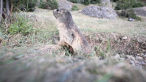 Alpine marmot (Marmota marmota) standing alert outside burrow, takes fright and runs inside, Rhone-Alpes, France, July.  -  Stephane Granzotto