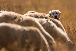 Maremma Sheepdog with sheep, Gran Sasso National Park, Abruzzo, Italy, June.  -  Bruno D'Amicis