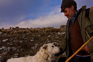 Shepherd, with Maremma Sheepdog wearing traditional anti-wolf spiked collar, locally known as 'vreccale'. Gran Sasso National Park, Abruzzo, Italy, June.  -  Bruno D'Amicis