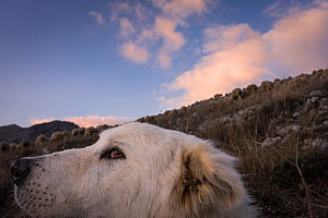 Maremma Sheepdog, close up with herd in the backgruond, Gran Sasso National Park, Abruzzo, Italy, June.  -  Bruno D'Amicis