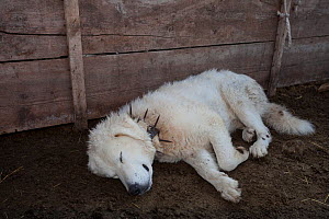 Maremma sheepdog resting,  wearing traditional anti-wolf spiked collar, locally known as 'vreccale'. Gran Sasso National Park, Abruzzo, Italy, June.  -  Bruno D'Amicis