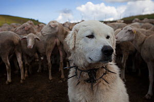 Maremma Sheepdog wearing traditional anti-wolf spiked collar, locally known as 'vreccale'. Gran Sasso National Park, Abruzzo, Italy, June.  -  Bruno D'Amicis