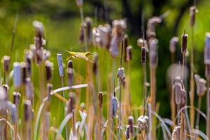 Yellow warbler (Dendroica petechia) collecting nesting material from Bulrush cattail (Typha sp) Bozeman, Montana , USA. - Phil Savoie