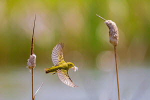 Yellow warbler (Dendroica petechia) collecting nesting material from Bulrush cattail (Typha sp) Bozeman, Montana. USA, June. - Phil Savoie
