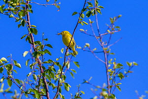 Yellow warbler (Dendroica petechia) hunting insects, Madison River, Bozeman, Montana, USA. June.  -  Phil Savoie
