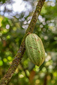 Cacao / Chocolate (Theobroma cacao) plant with ripening seed pod, Costa Rica.  -  Phil Savoie