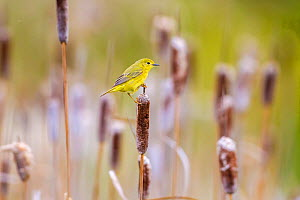 Yellow warbler (Dendroica petechia) collecting nesting material from Bulrush cattail (Typha sp) Bozeman, Montana, USA, June.  -  Phil Savoie