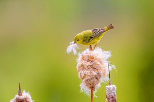 Yellow warbler (Dendroica petechia) collecting nesting material from Bulrush cattail (Typha sp) Bozeman, Montana.  -  Phil Savoie