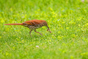 Brown thrasher (Toxostoma rufum) feeding on worm on lawn, Wisconsin, USA.  -  Phil Savoie