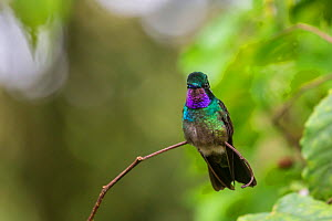 Purple-throated mountain gem (Lampornis calolaemus),  Volcano Pos, Costa Rica.  -  Phil Savoie