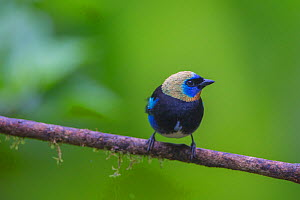 Golden-hooded tanager (Tangara larvata) La Selva Field Station, Costa Rica.  -  Phil Savoie