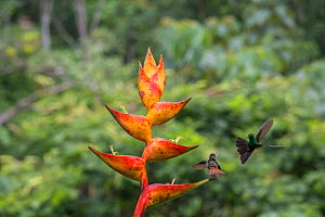 Territorial Rufous-tailed hummingbird (Amazilia tzacatl) fighting off Red-footed plumeleteer hummingbird (Chalybura urochrysia) from heliconia, La Selva Field Station, Costa Rica. - Phil Savoie