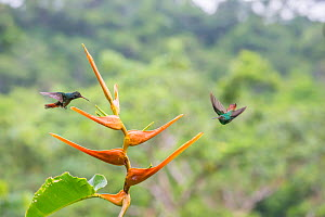 Rufous-tailed hummingbird  (Amazilia tzacatl) territorial fighting around Heliconia flower (Heliconia latispatha) La Selva, Costa Rica. - Phil Savoie