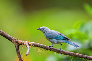 Blue grey tanager (Thraupis episopus) La Selva Field Station, Costa Rica.  -  Phil Savoie